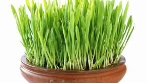 ظرف مخصوص کاشت سبزه,نگهداری بذر سبزه ساقه سبزه,نور مناسب رشد سبزه